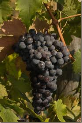 ripe wine grape