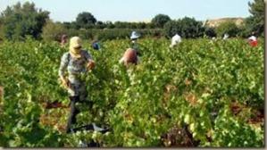 lebanese wine growing