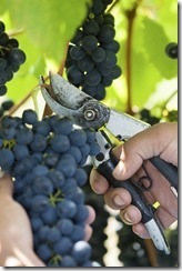 hand harvesting grapes