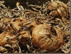 rotten onions