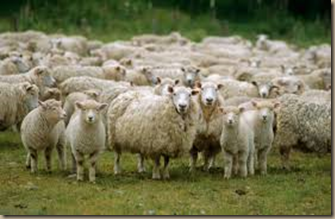 herd of sheep