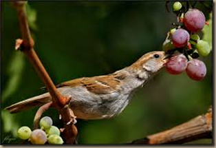 birds eating grapes