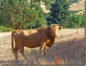 umpqua-bull