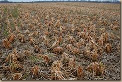 rotting crops