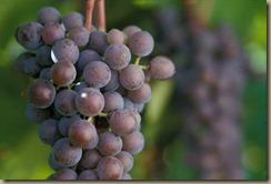 grapes_frontenac_gris