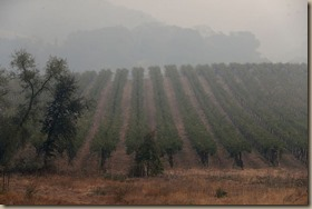 smoke in vineyards