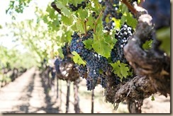 grapes-1952073__340