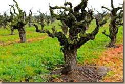 old vine zin
