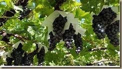 japanese vineyard