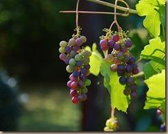 grapes-1659118__340