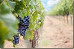 grapes-1952035__340