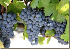 cab grapes