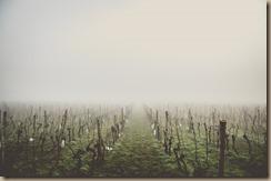 fog in vinyard