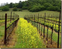 spring time in the vineyard