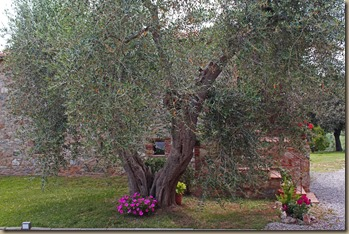 ciacci-olive-trees