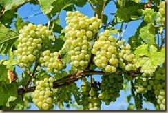 grapes-2656259__340