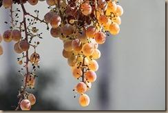 grape-3766255__340