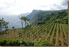 madeira vineyards
