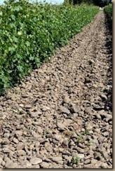 rocks in the vineyard