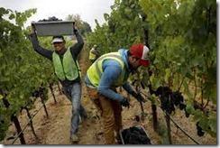 vineyard labor